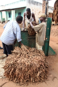 Tobacco growers weigh their crop before heading to the market
